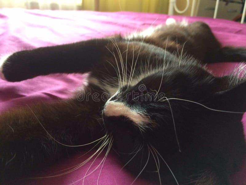 Svartvitt sova för katt royaltyfri fotografi