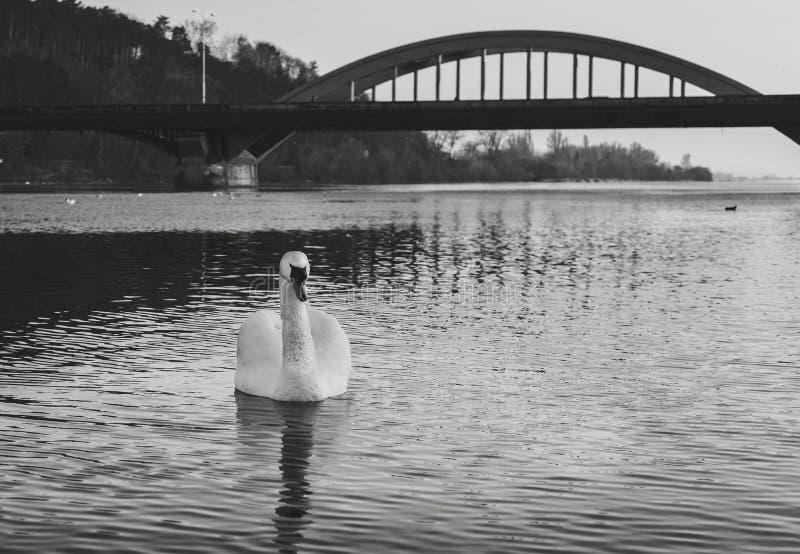Svartvitt - svan på floden med reflexion i vatten och bro för kristall blått på bakgrund Upplyst svan som poserar på arkivfoto
