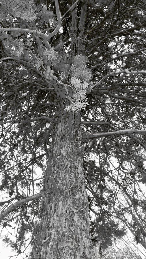 Svartvitt träd arkivbild