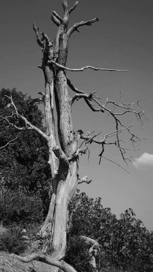 Svartvitt - träd arkivfoton