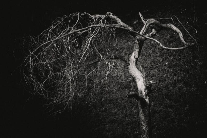 Svartvitt träd fotografering för bildbyråer