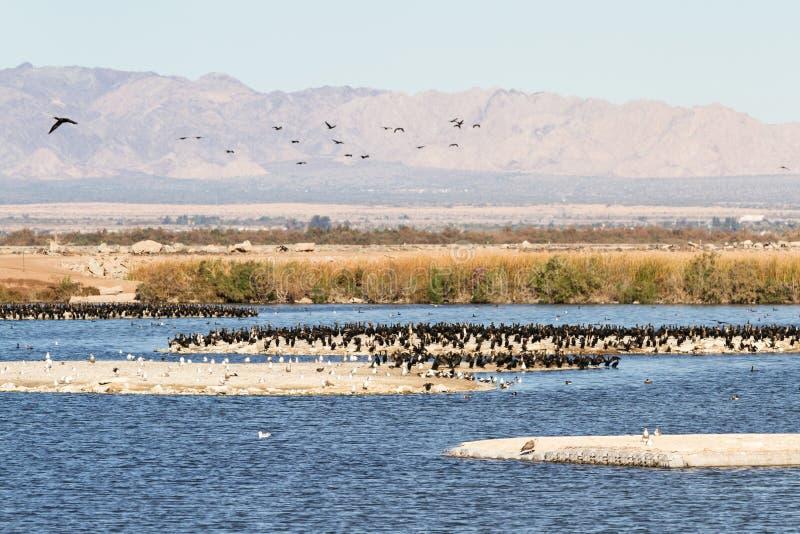 Svassi Eared, mare di Salton, California immagine stock libera da diritti