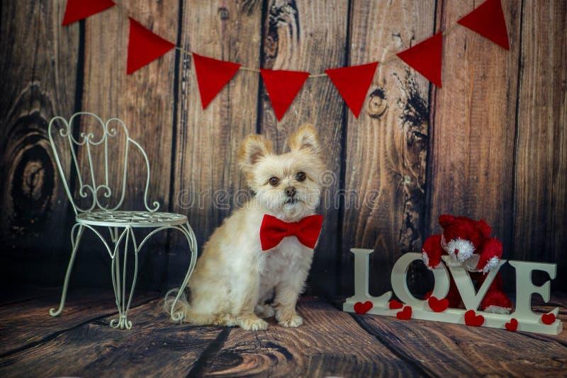 Sveglio poco Valentine Puppy con la cravatta a farfalla rossa fotografia stock