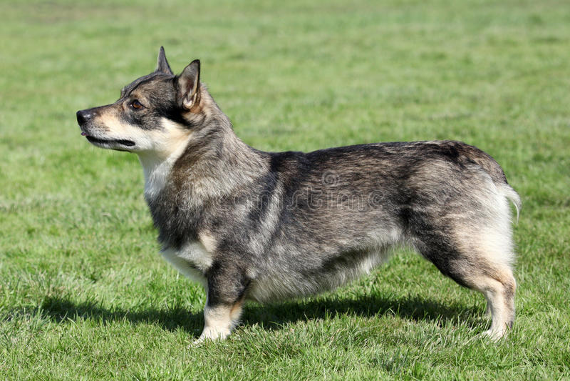 Svenska Vallhund arkivfoto
