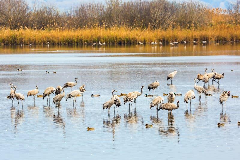 Svernamento migratore dei cormorani sul lago immagini stock