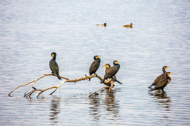 Svernamento migratore dei cormorani sulla hula del lago fotografia stock
