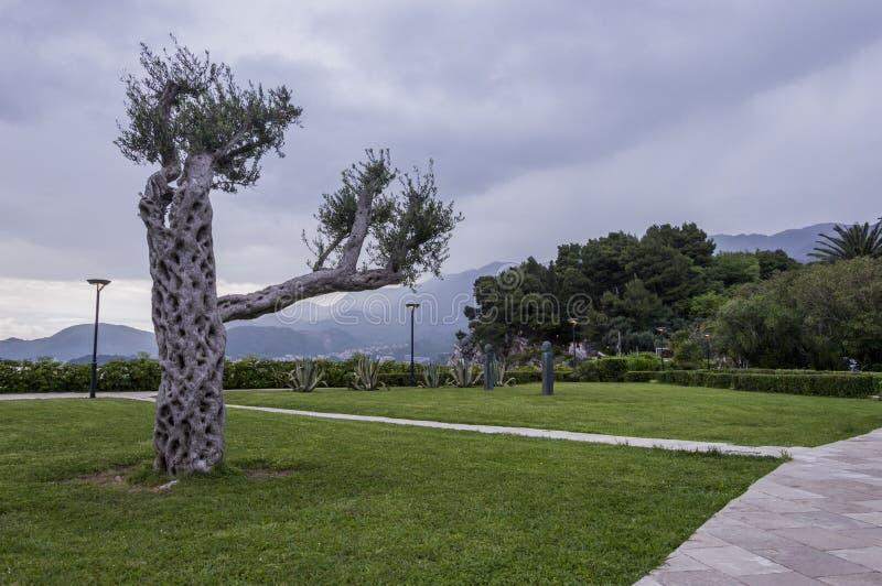 Sveti Stefan, parque, olivo fotos de archivo