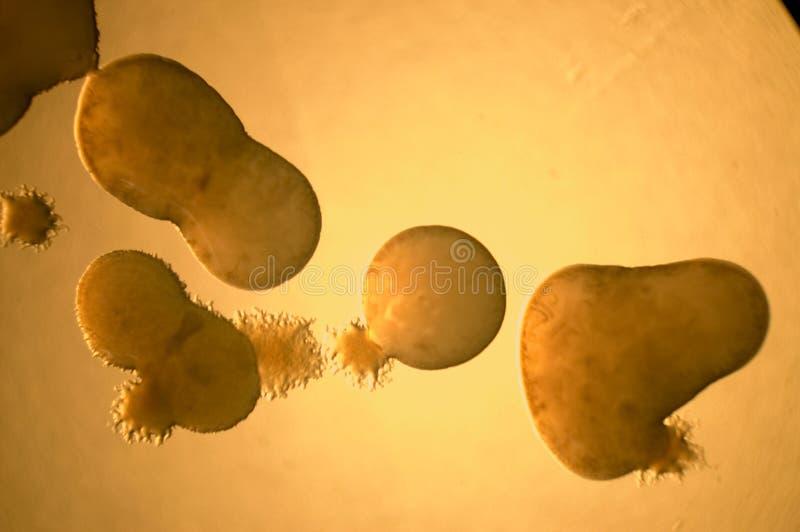Sviluppo batterico fotografie stock