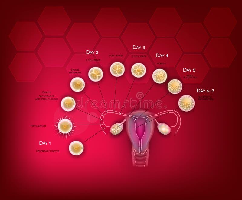 Sviluppo dell'embrione royalty illustrazione gratis