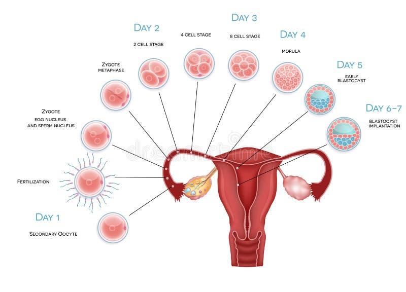 Sviluppo dell'embrione illustrazione di stock