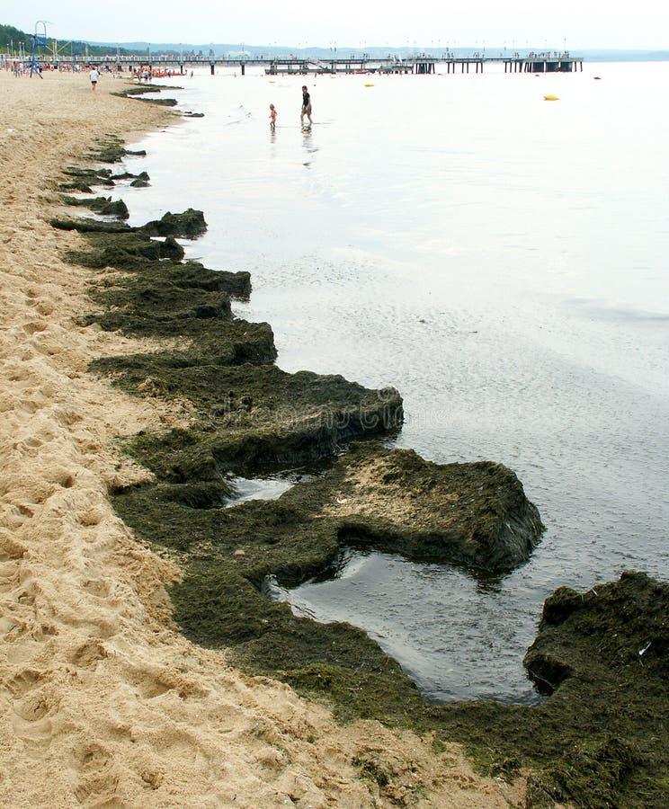 Sviluppo delle alghe immagine stock libera da diritti