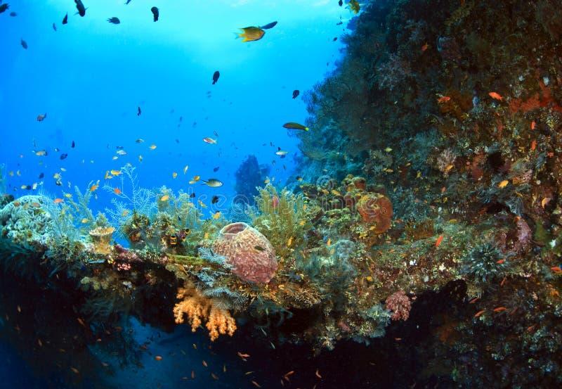 Sviluppo di corallo prolifico fotografia stock libera da diritti