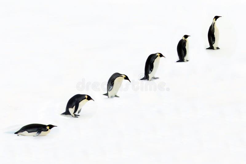 Sviluppo di un pinguino   royalty illustrazione gratis
