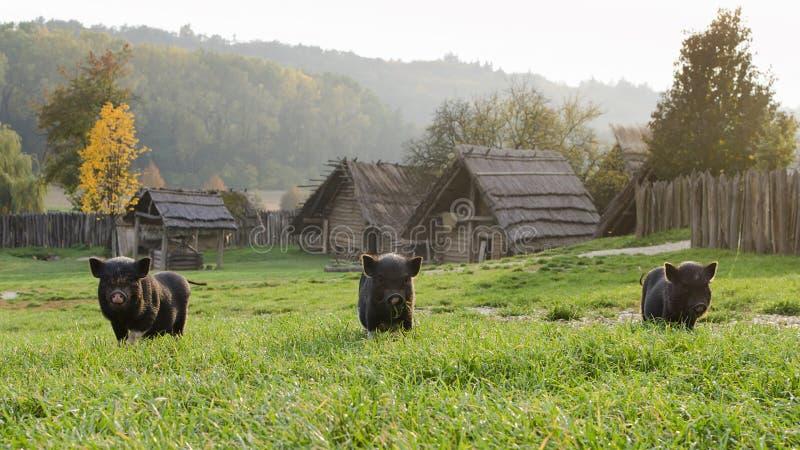 Svin eller spädgrisar på lantgård royaltyfri bild