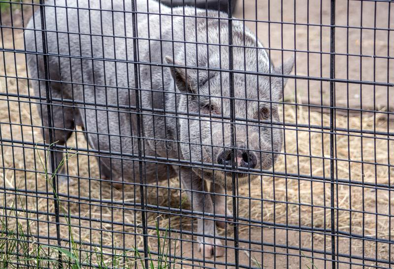 Svin för storpampbuk på lantgården royaltyfria bilder