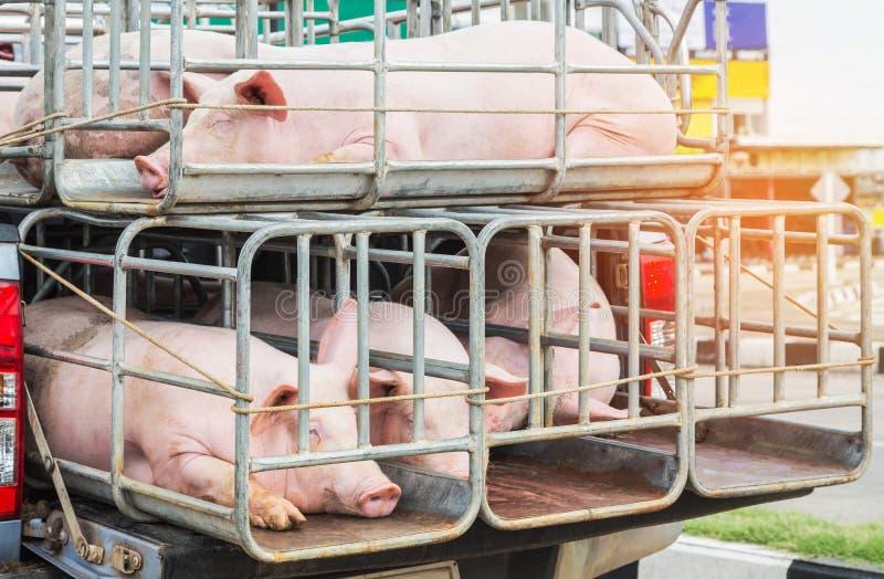 Svin i burar på lastbiltransport arkivfoto