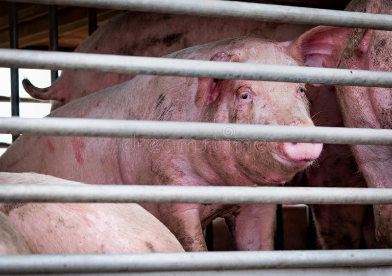 Svin i lastbiltransport från lantgård till slakthuset K?ttbransch boskap Djur köttmarknad Begrepp för djurrätter pig arkivbilder
