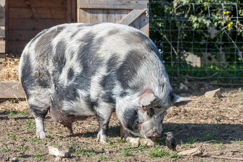 Svin och stare arkivbild