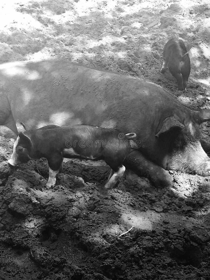 Svin på en lantgård arkivfoton