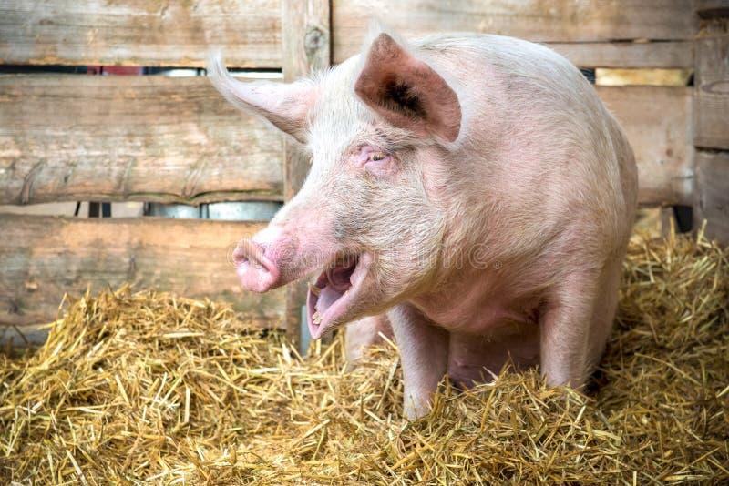 Svin på hö och sugrör arkivfoton