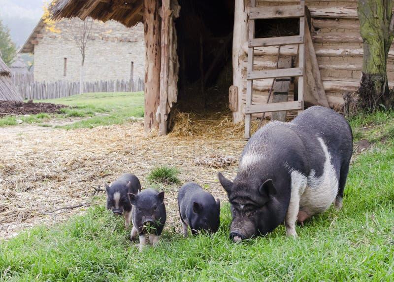 Svin på lantgård fotografering för bildbyråer