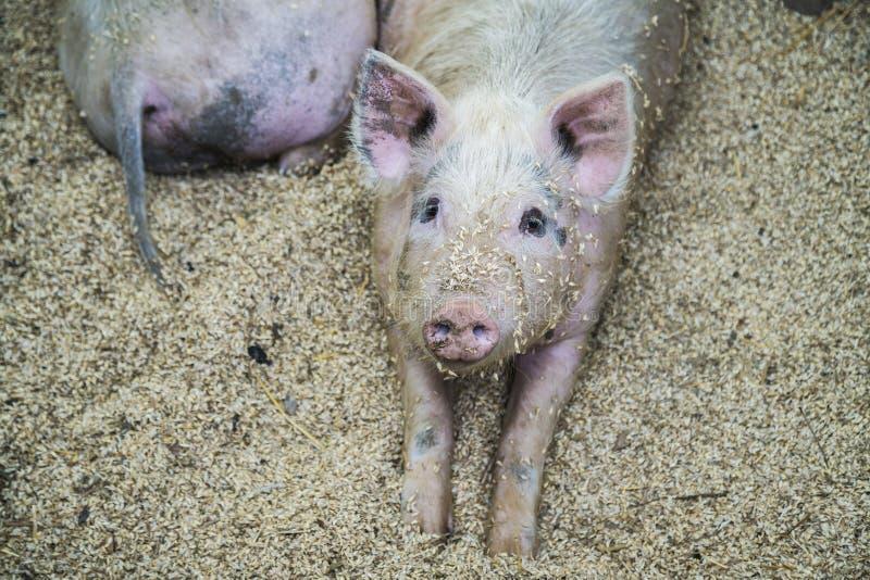 Svin p? lantg?rden Lyckliga svin p? svinfarm arkivfoto