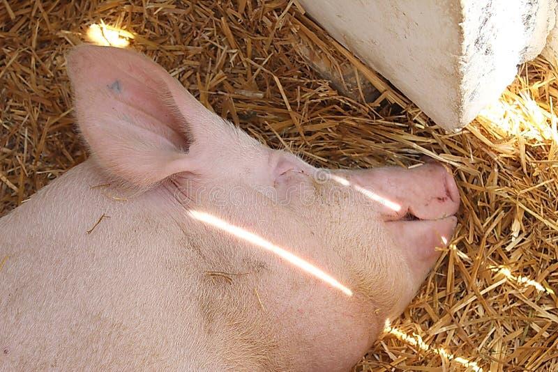 Svin som sover på sugrör, hö arkivbilder