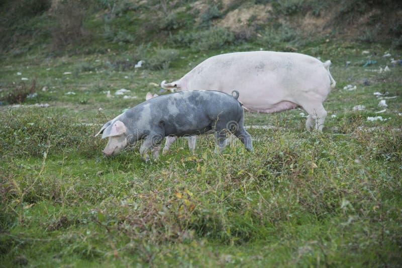 Svin som spelar i fältet royaltyfri fotografi