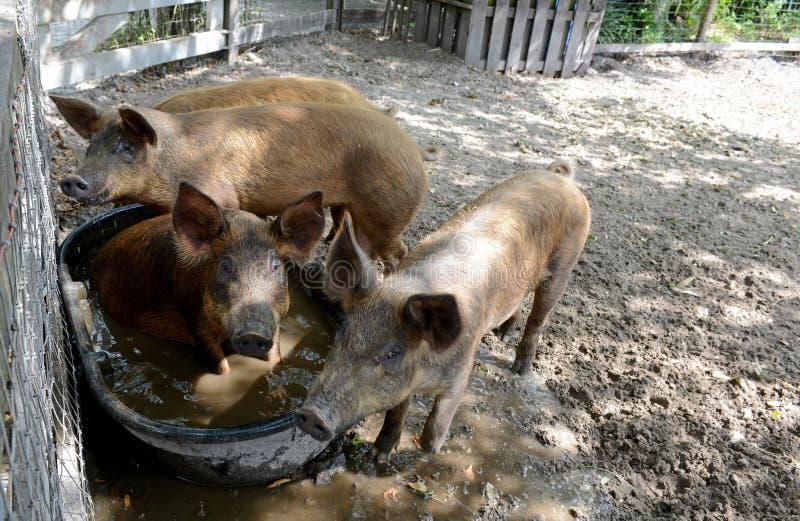 Svin som spelar i vatten i svinpenna fotografering för bildbyråer