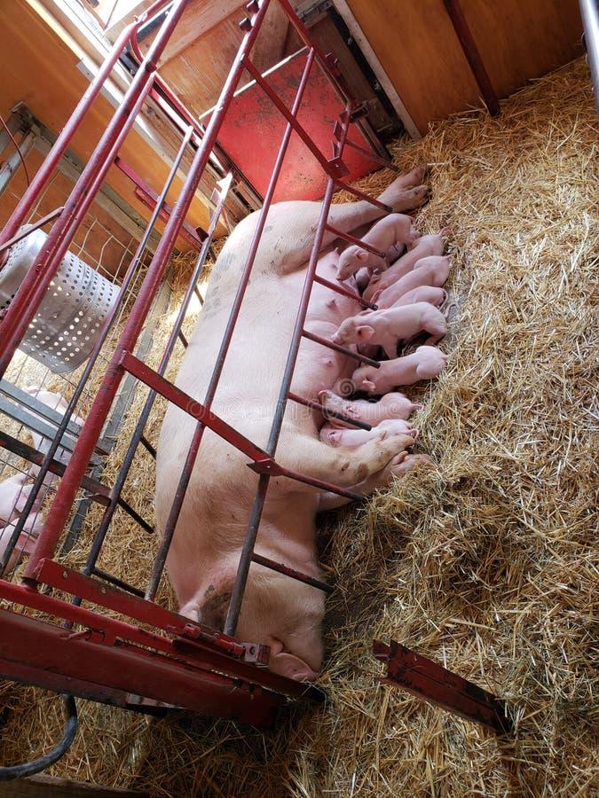 Svin som vårdar på zoo royaltyfri foto