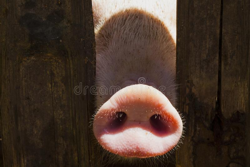 Svinnäsa i trästaket Det unga nyfikna svinet luktar fotokameran Rolig byplats med svinet royaltyfri foto