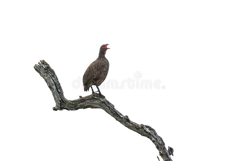 Swainson`s Spurfowl in Kruger National park, South Africa. Swainson`s Spurfowl isolated in white background in Kruger National park, South Africa ; Specie royalty free stock image