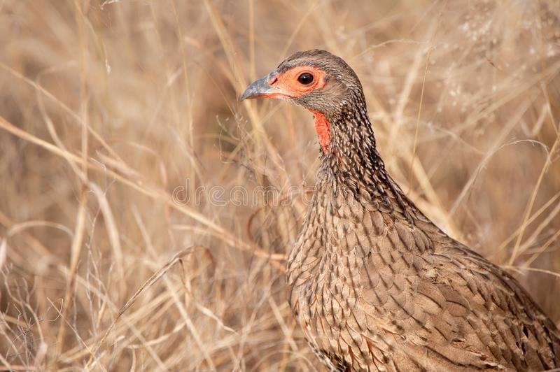 Swainson's Spurfowl (Pternistis swainsonii). The Swainson's spurfowl or Swainson's francolin (Pternistis swainsonii) is found in Angola, Botswana, Lesotho royalty free stock image