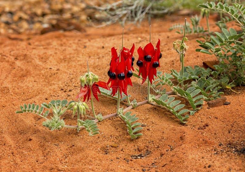 Swainsona australiano Formosa, Fabaceae del Wildflower imágenes de archivo libres de regalías