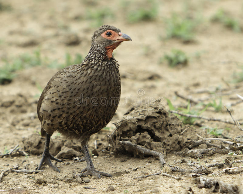Swainsons Spurfowl royalty-vrije stock afbeelding