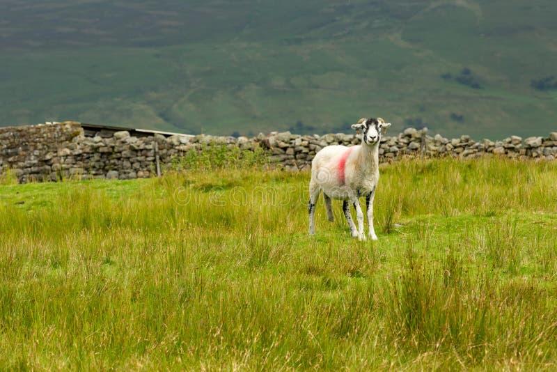Swaledale Ewe, facing forward, stood in lush summer meadow. Swaledale Ewe  with shorn fleece, facing forward in beautiful Swaledale, Yorkshire Dales, England royalty free stock photo
