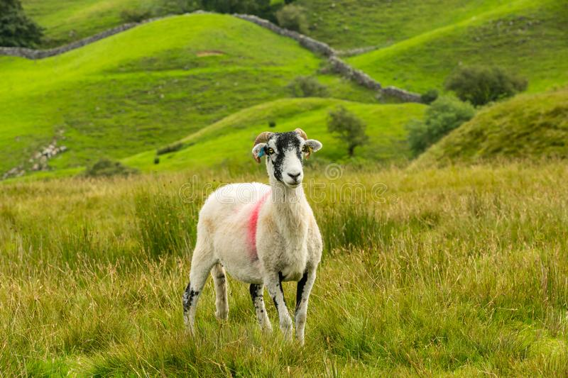 Swaledale Ewe facing forward with stunning Yorkshire Dales backdrop. Swaledale Ewe  with shorn fleece, facing forward in beautiful Swaledale, Yorkshire Dales stock photos