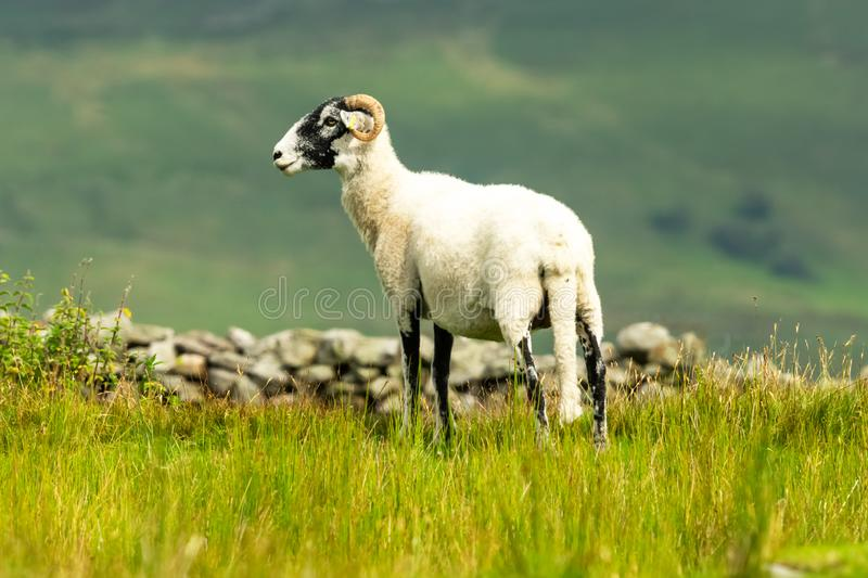 Swaledale Ewe facing left in summer meadow in the Yorkshire Dales, England. Swaledale Ewe  with shorn fleece, facing left in beautiful Swaledale, Yorkshire Dales stock photo