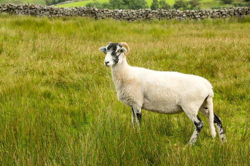 Swaledale Ewe facing left in summer meadow in the Yorkshire Dales, England. Swaledale Ewe  with shorn fleece, facing left in beautiful Swaledale, Yorkshire Dales stock photography