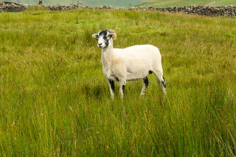 Swaledale Ewe facing left in summer meadow in the Yorkshire Dales, England. Swaledale Ewe  with shorn fleece, facing left in beautiful Swaledale, Yorkshire Dales stock image