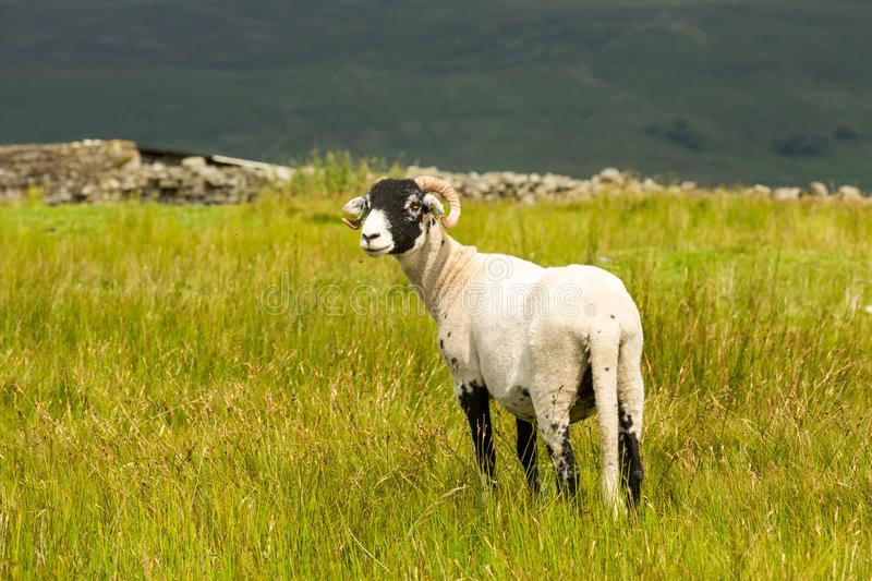 Swaledale Ewe facing left in summer meadow in the Yorkshire Dales, England. Swaledale Ewe  with shorn fleece, facing left in beautiful Swaledale, Yorkshire Dales royalty free stock photo