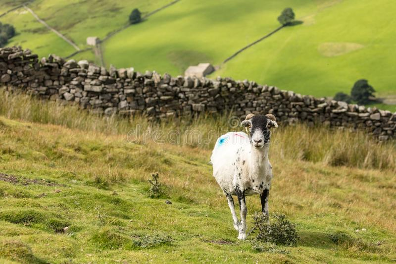 Swaledale Ewe with shorn fleece, facing forward, with scenic North Yorkshire background. Swaledale Ewe  with shorn fleece, in beautiful Swaledale, Yorkshire royalty free stock photography