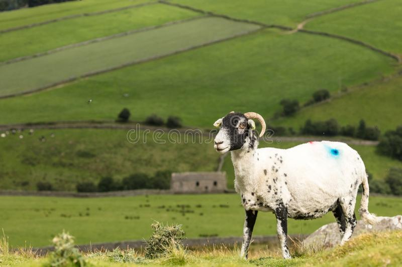 Swaledale Ewe with shorn fleece  facing left with scenic Yorkshire Dales background. Swaledale Ewe  with shorn fleece, in beautiful Swaledale, Yorkshire Dales stock photo