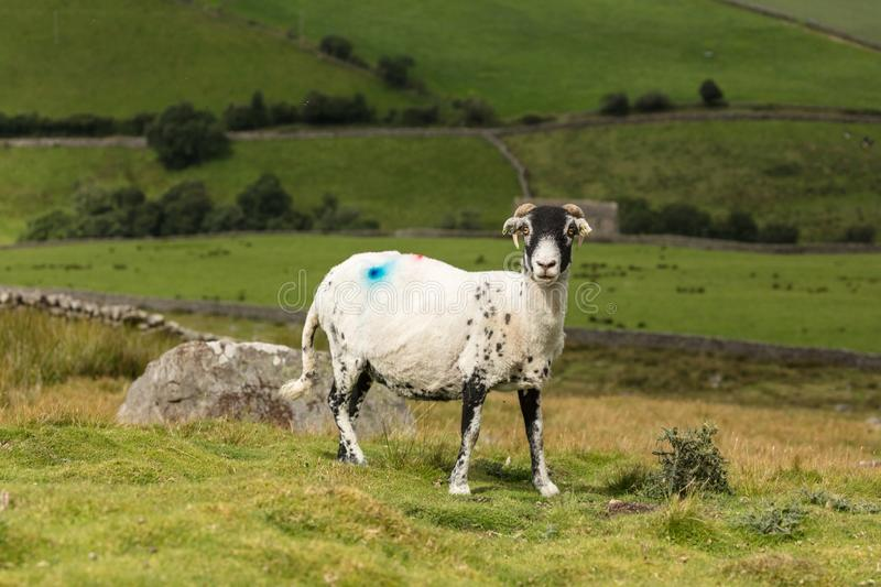 Swaledale Ewe with shorn fleece  facing right, with scenic North Yorkshire background. Swaledale Ewe  with shorn fleece, in beautiful Swaledale, Yorkshire Dales stock photo