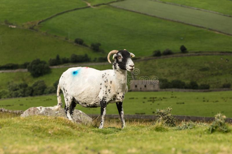 Swaledale Ewe with shorn fleece, facing right, with scenic Yorkshire Dales background. Swaledale Ewe  with shorn fleece, in beautiful Swaledale, Yorkshire Dales stock image