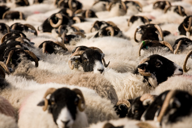 Swaledale sheep in pen royalty free stock photo