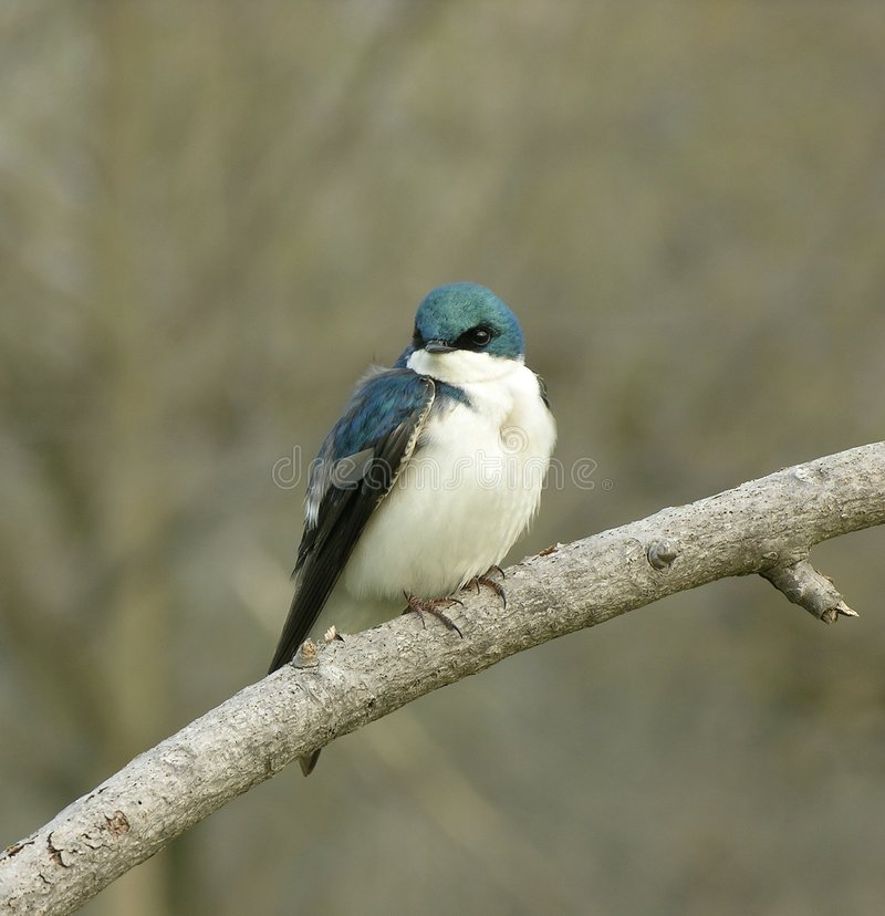 Swallow 1 royalty free stock images