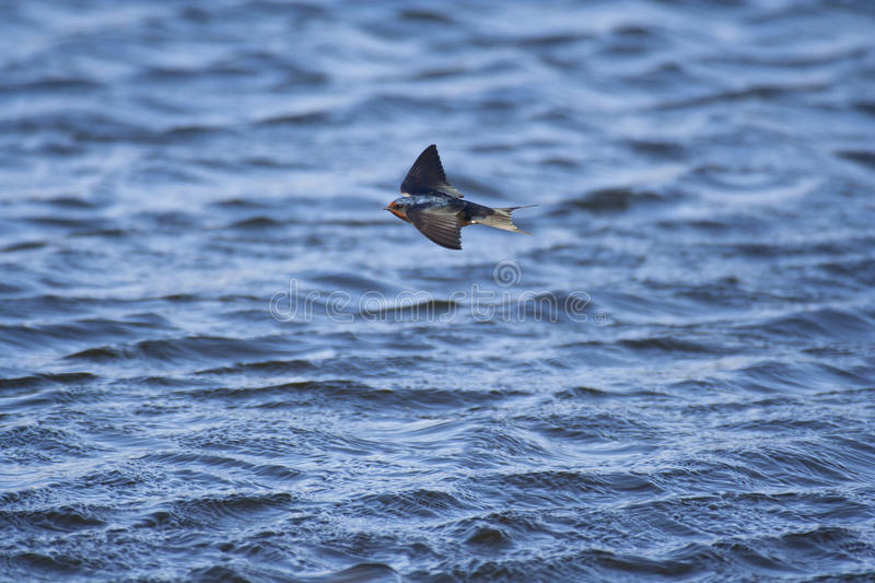 Download Swallow Stock Images - Image: 16358344