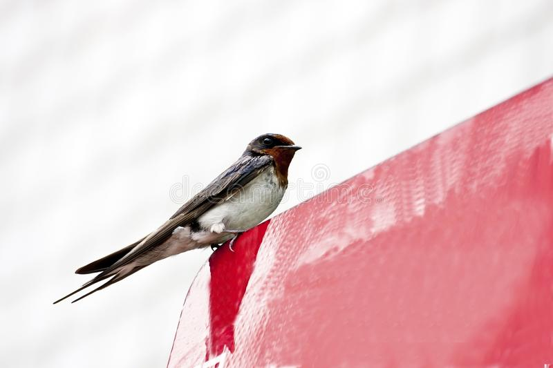 Download Swallow stock photo. Image of flying, gray, blue, field - 25974996