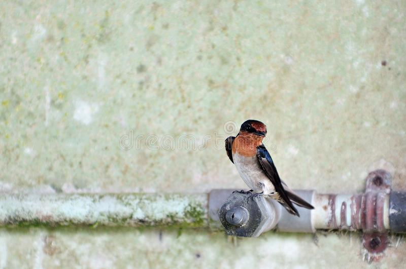 Download Swallow 3 stock photo. Image of orange, wings, lovely - 6309970